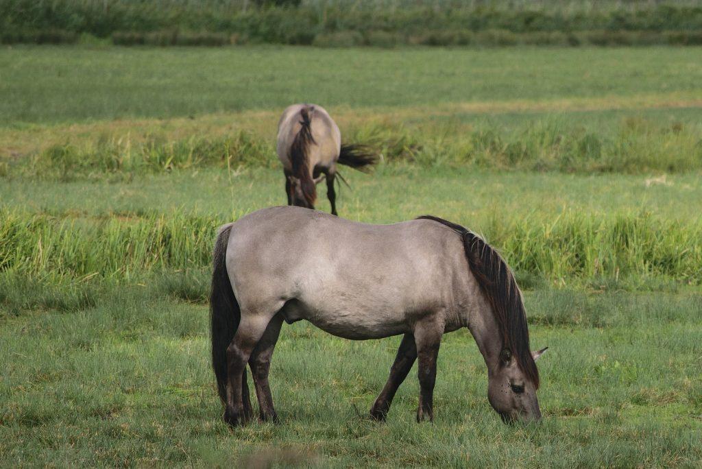 konik paarden grazen